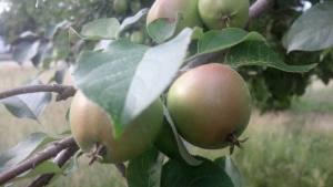 fruitripening